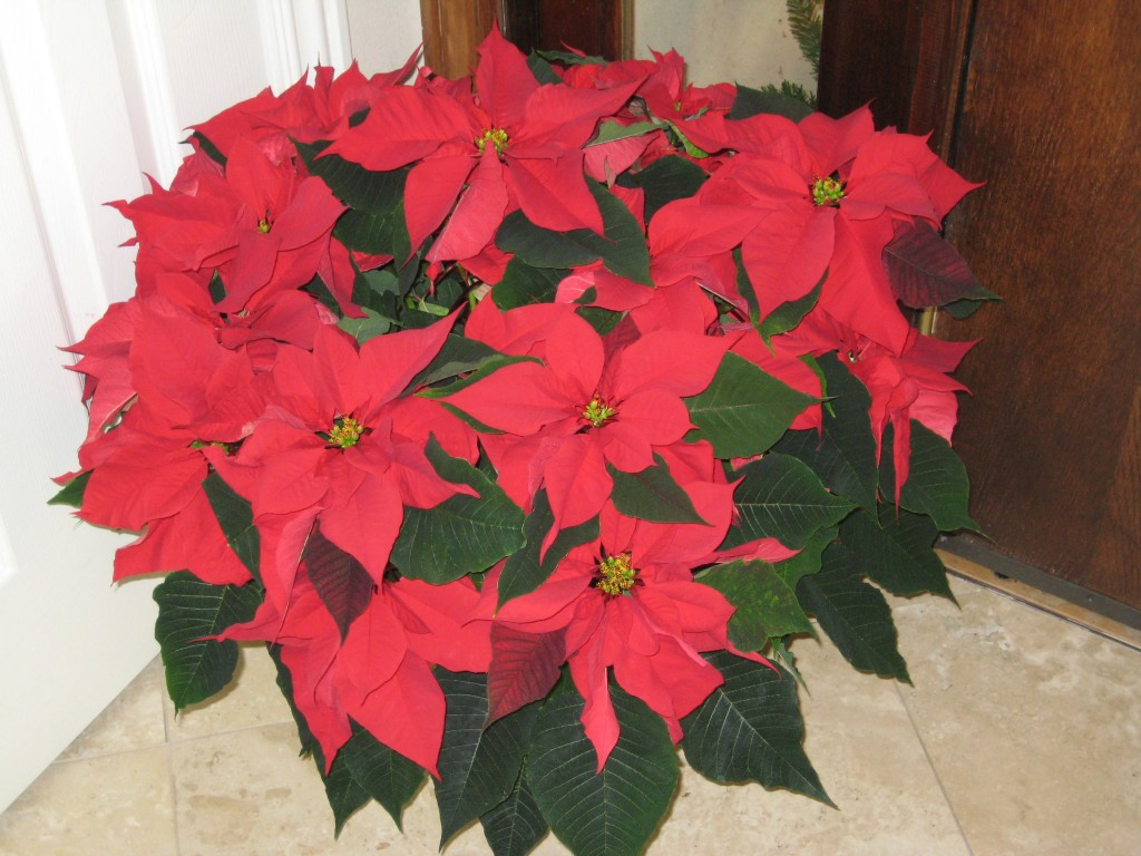 Poinsettia - more Red and Green.