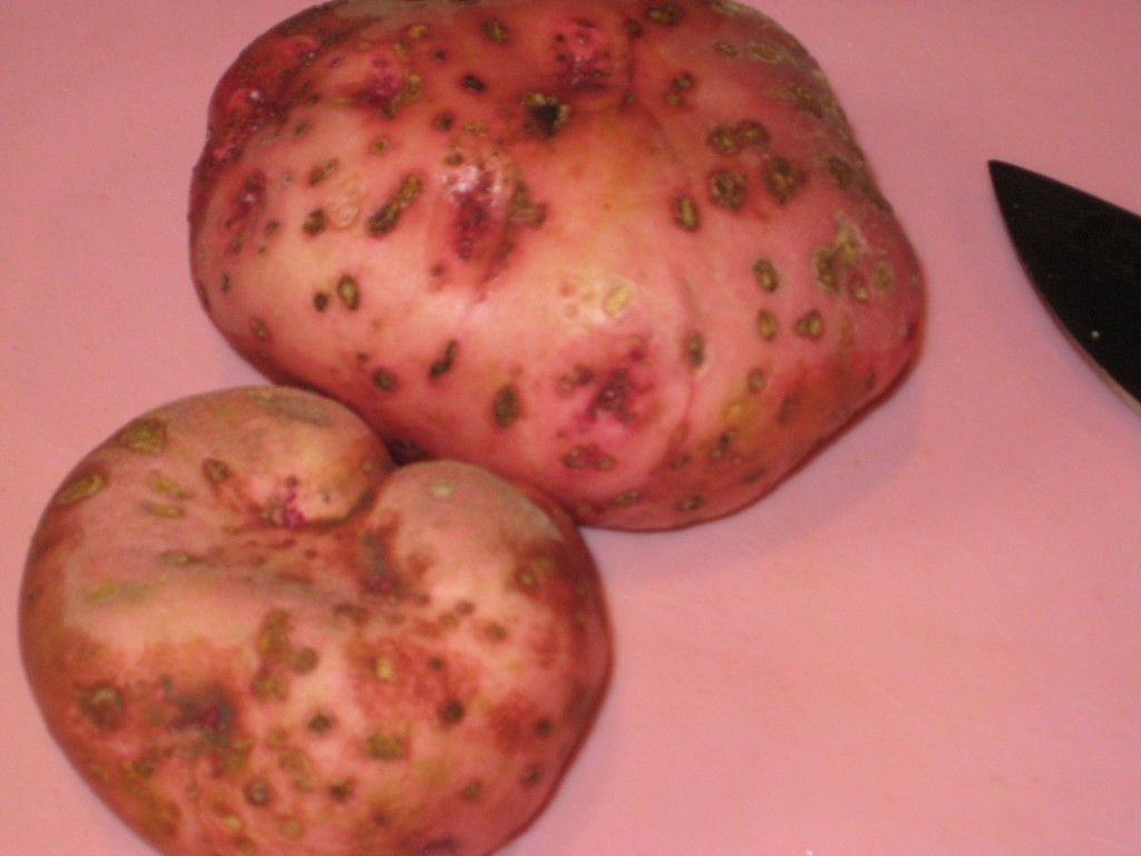 I took the red potato's picture, because they came from my garden last fall.
