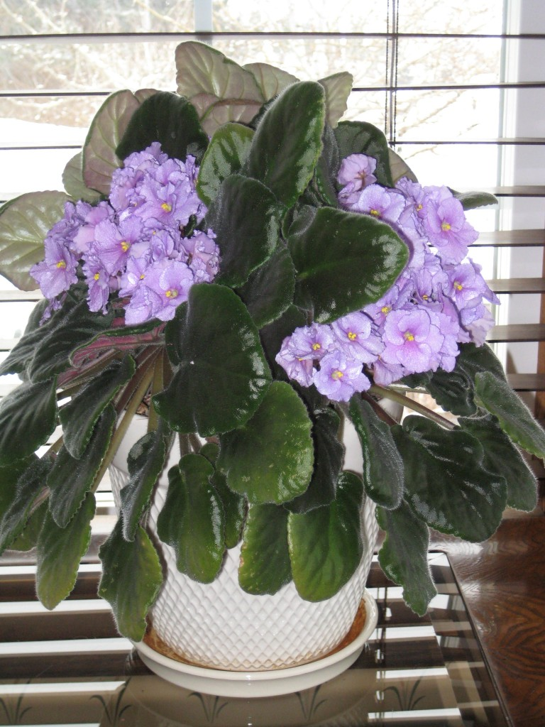 African violet doing a nice job, while waiting for spring.