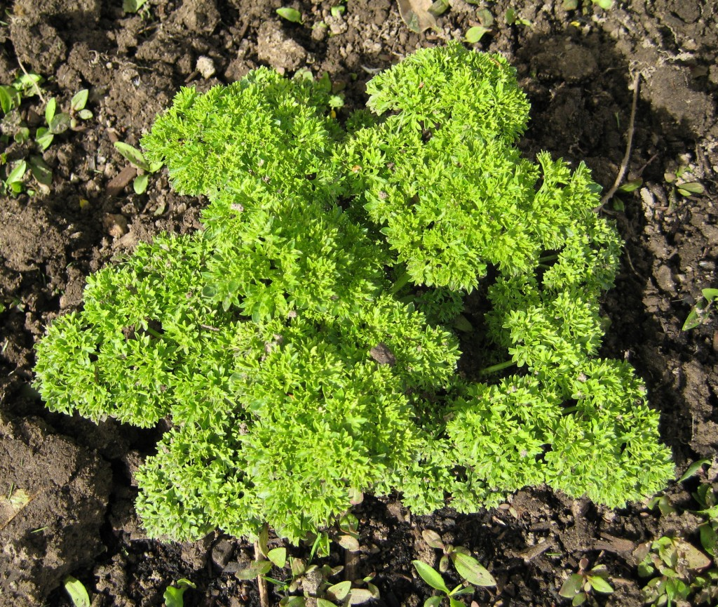 Parsley, one of many bunches.