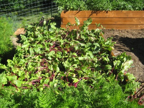 The beet patch after thinning