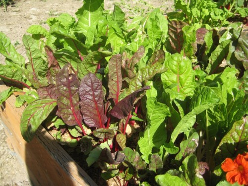 Swiss chard waiting to be used in one of our favorite recipes.